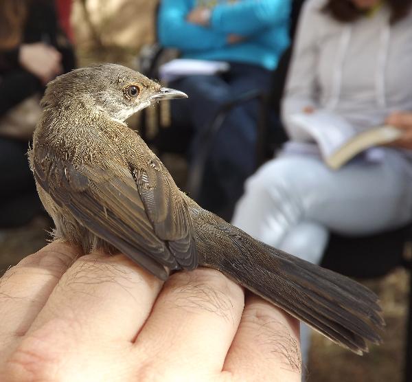 Anilhagem de aves na Lagoa de Óbidos