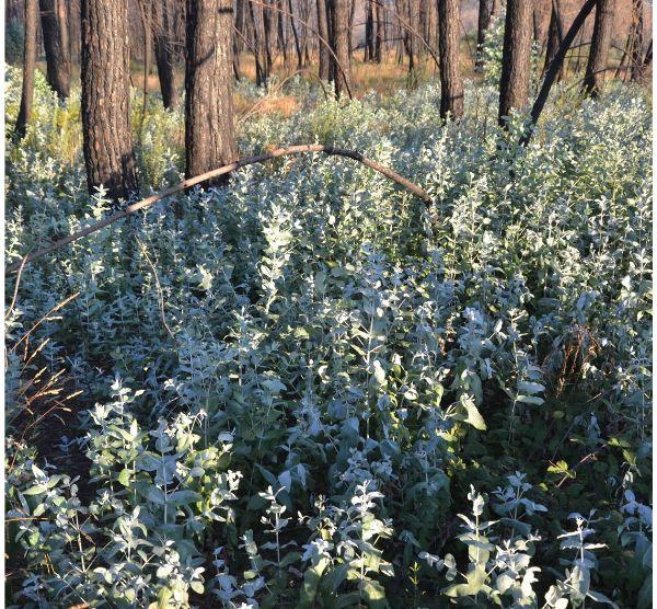 Jornada: A regeneração de eucalipto em áreas queimadas