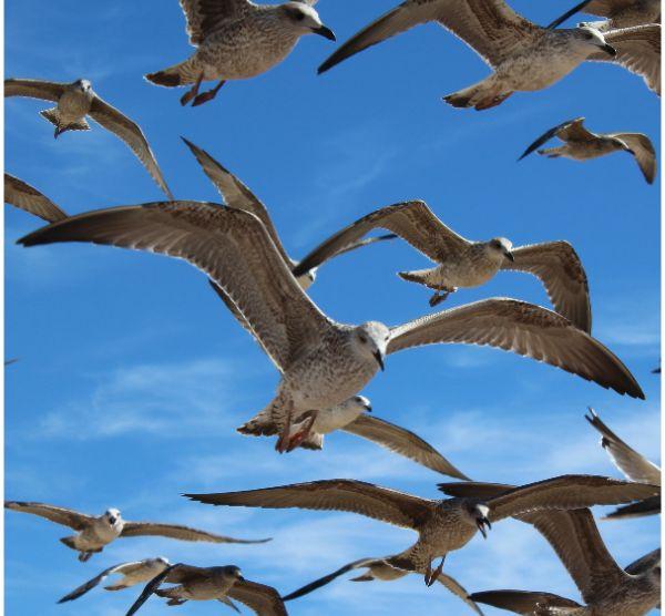 Introdução às gaivotas de Portugal