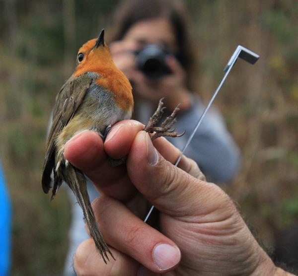 Sessão de anilhagem de aves na Lagoa de Óbidos