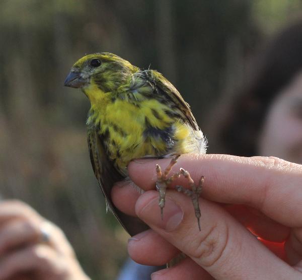 Anilhagem de aves na Lagoa de Óbidos - 3 edição