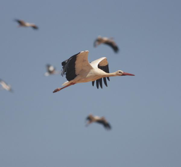 A migração das aves