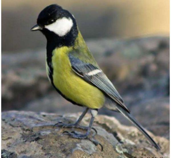 Introdução aos Passeriformes de Portugal