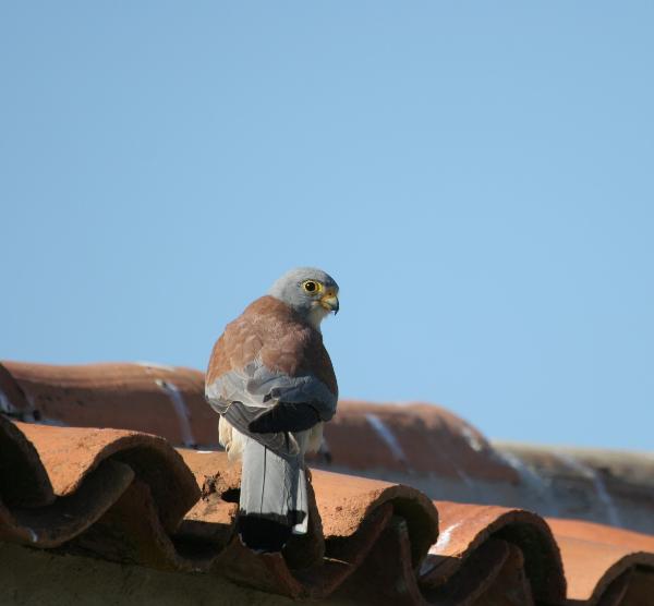 Vamos limpar os ninhos de Peneireiro-das-torres
