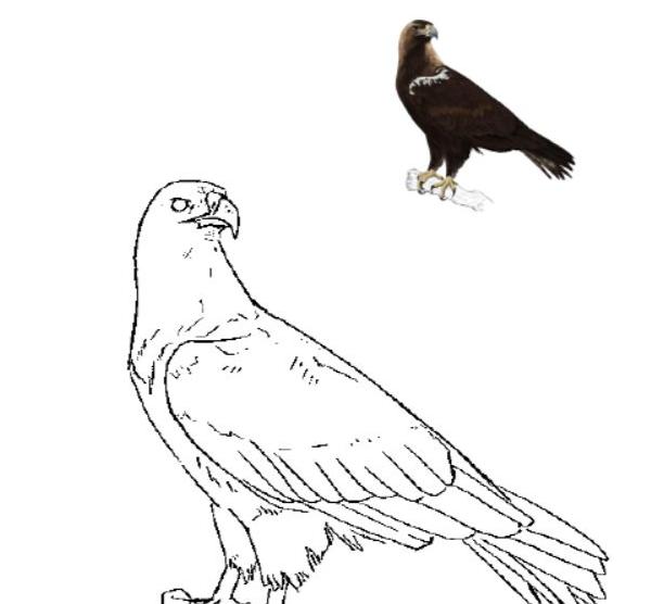 Pinta a Águia-imperial!