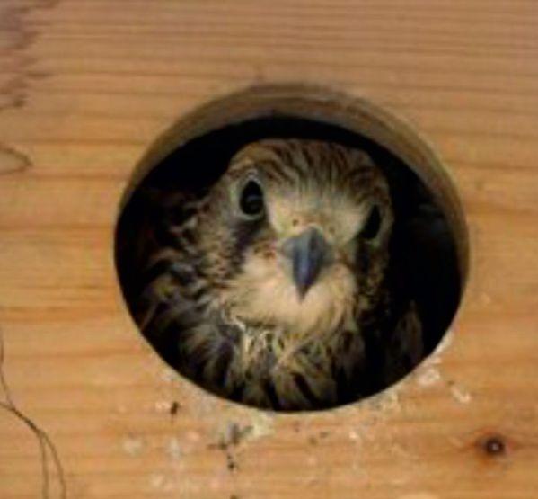 Caixa ninho para peneireiro-das-torres