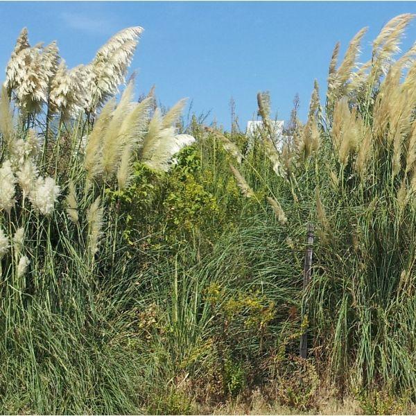 Plantas invasoras: identificação e controlo