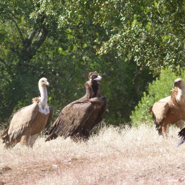 Assembleia da República discute proibição de medicamento veterinário fatal para abutres e águias