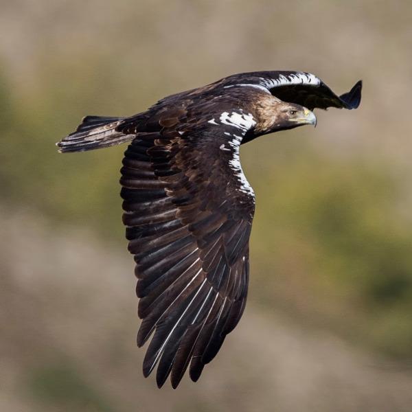Ameaçada águia-imperial-ibérica vê o seu número mais que duplicar em Portugal em apenas sete anos