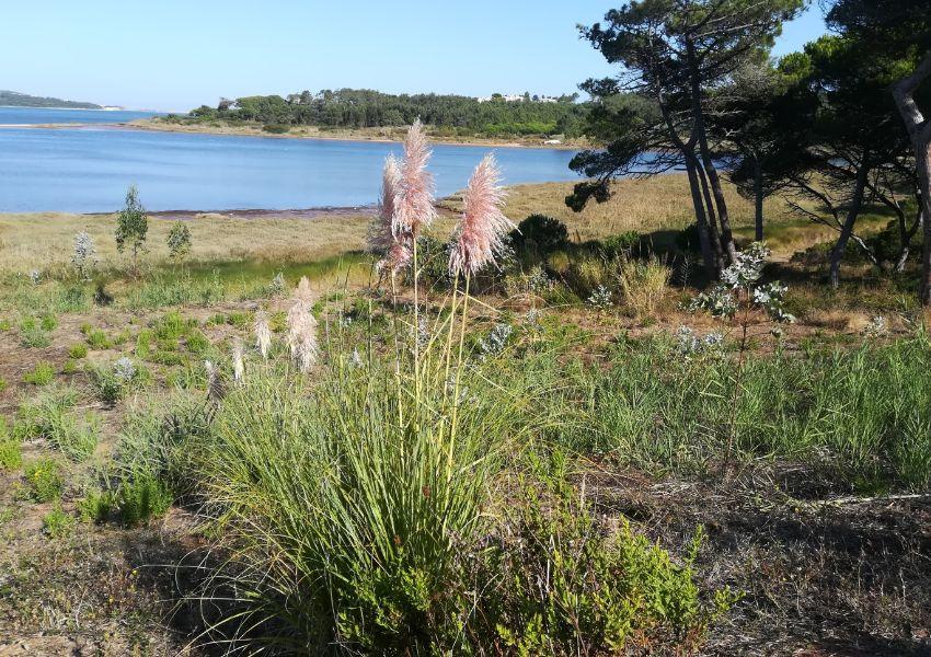 Plantas exóticas invasoras na Lagoa de Óbidos