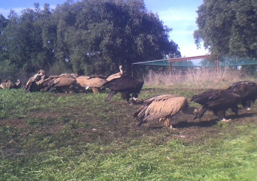 """Abutre-preto """"Murtigão"""" fotografado em campo de alimentação no Alentejo!"""