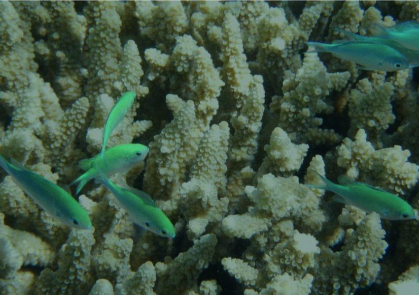 Os corais estão a morrer?
