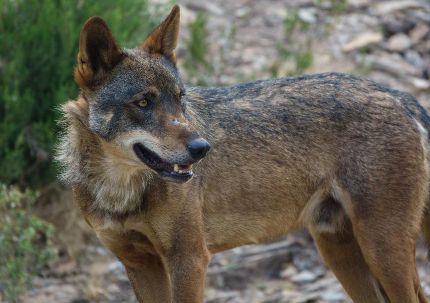 ONGAs alertam para impacto negativo que a correção extraordinária da densidade de javalis terá na conservação do lobo-ibérico