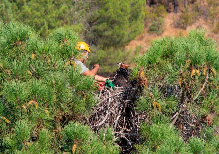 Anilhagem de abutres-pretos juvenis na Herdade da Contenda