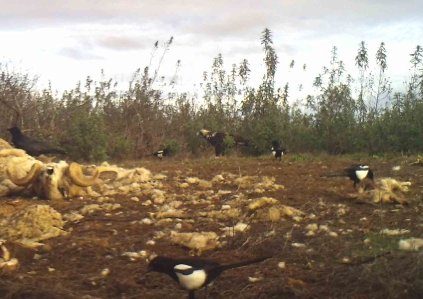 Realeza da Avifauna Portuguesa em Campo de Alimentação no Alentejo