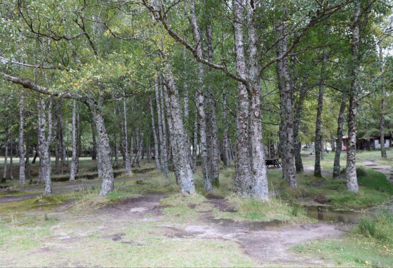 Bétula - Betula celtibérica do Covão D`Ametade. Fotografia de Luís Galego