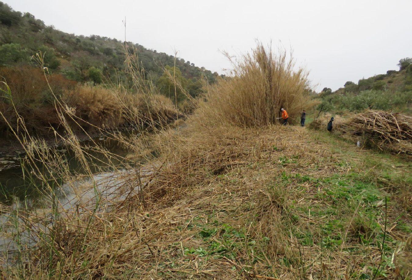 Erradicação de uma mancha de canavial na ribeira do Vascão (SIC Guadiana)