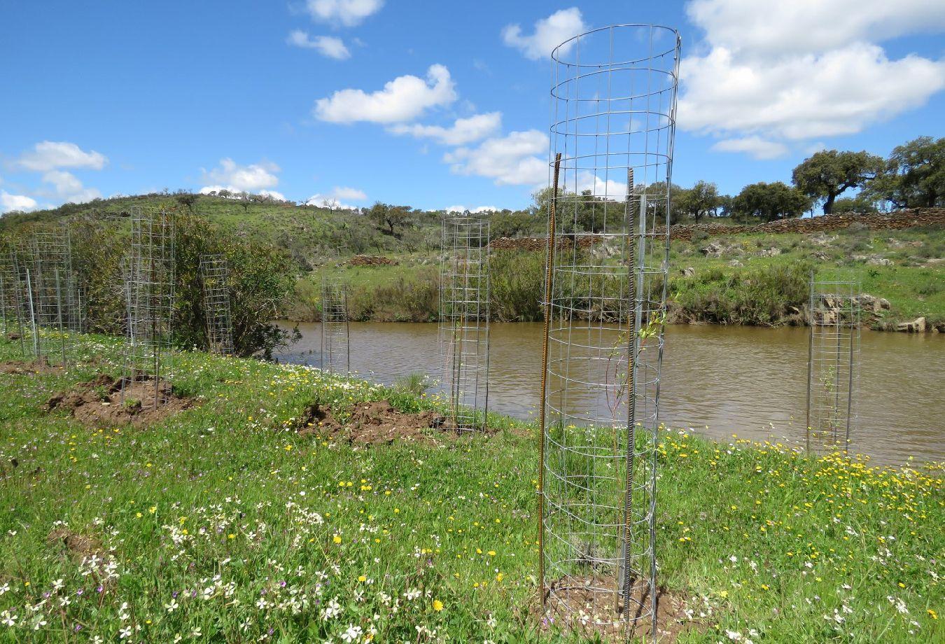 Recuperação da vegetação ribeirinha na ribeira do Murtigão (SIC Moura/Barrancos)