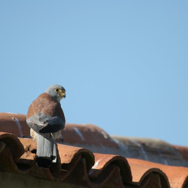 Conservação e Restabelecimento do Francelho (Falco naumanni) na Região de Évora
