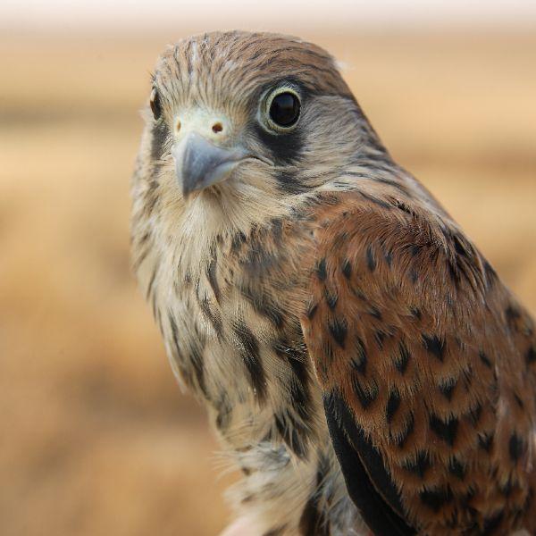 Projeto Falco & Otis: Proteger o Peneireiro-das-torres e a Abetarda